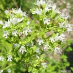 Бял Риган (Origanum vulgare L. ssp. hirtum)